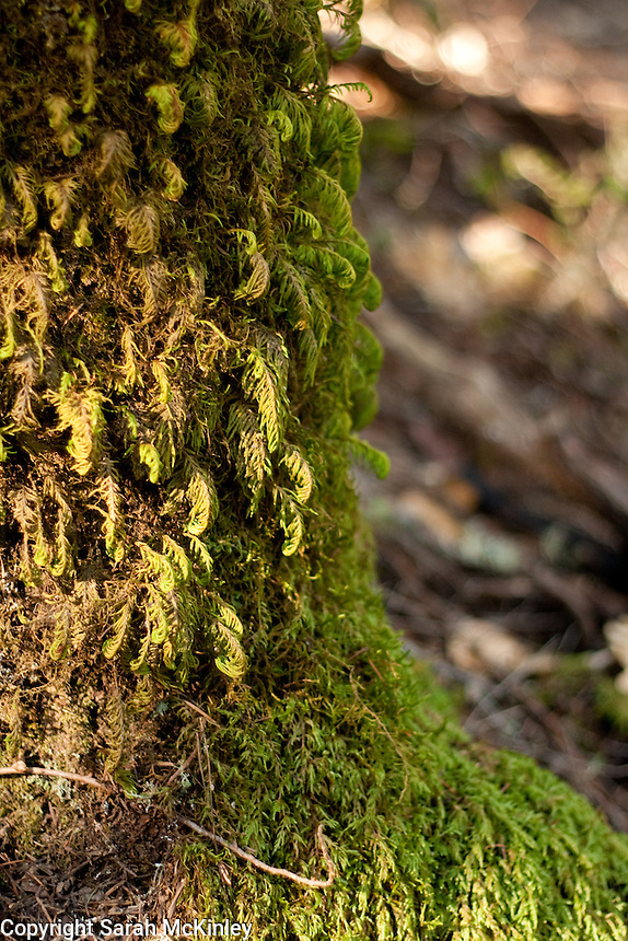 Feathery green moss gross on the base of a trunk growing in Little Darby in Willits in Mendocino County in Northern California.