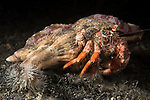 Lembeh Strait, Indonesia; a small elbow crab is hitching a ride on a much larger anemone hermit crab who is moving across the black muck bottom at night