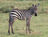 It was birthing season for zebras too.