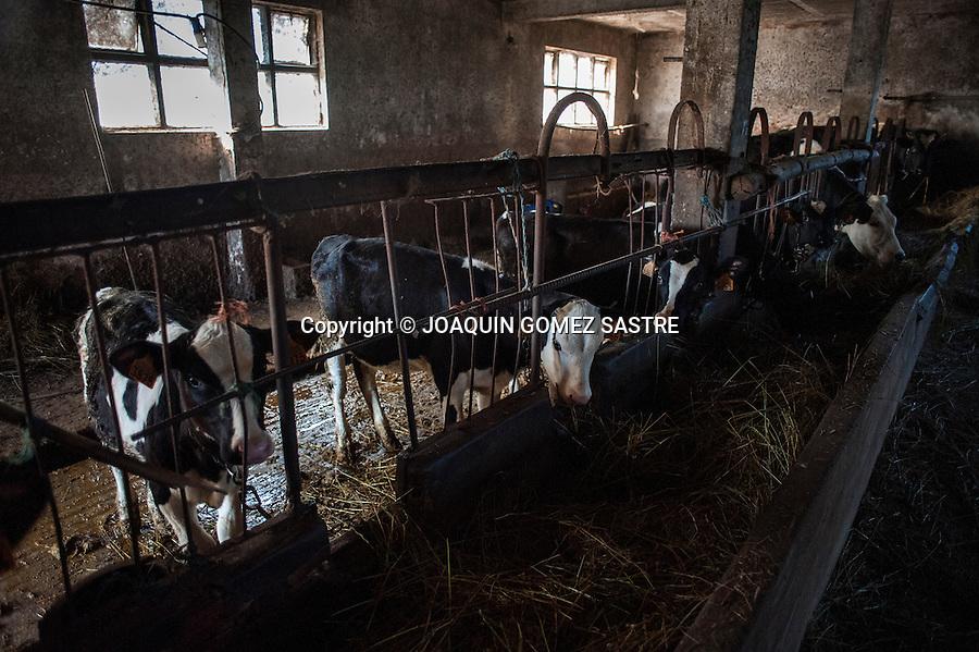 Becerros comiendo en la cuadra en la exoplotacion ganadera de David en Miengo (Cantabria)