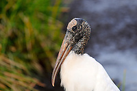 Large Wood Stork photographed at Green Cay Wetlands, Boynton Beach, Florida.