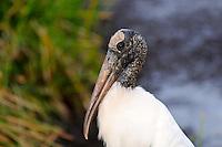 Large Wood Stork photographed at Green Cay Wetlands, Boynton Beach, Florida.