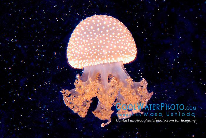 lagoon jelly, juvenile (c), .Mastigias punctata, .(Indo-Pacific).