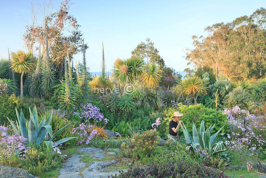 France, Finistère (29), Roscoff, jardin exotique de Roscoff, allée et vue mer avec touffes mauves des séneçons glastifolius (Senecio glastifolius), vipérines hybrides de Roscoff, eucalyptus, agave, cordyline australe (utilisation presse et édition livre uniquement avec mention obligatoire du nom du jardin) // France, Finistere, Roscoff,  the exotic garden of  Roscoff, path with clumps of purple Senecio glastifolius, viperines hybrid of Roscoff (Echium pininana X wildpretii), eucalyptus, agave, Cordyline australis (press and publishing book use only with mention of the name of the garden)