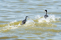 Western Grebes, Aechmophorus occidentalis, at Tule Lake National Wildlife Refuge, Oregon