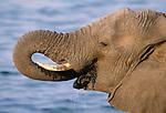 African elephant drinks water, Chobe National Park, Botswana