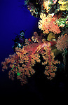 Diver behind seascape with colourful soft tree coral on reef wall..Great Barrier Reef, Queensland, Australia