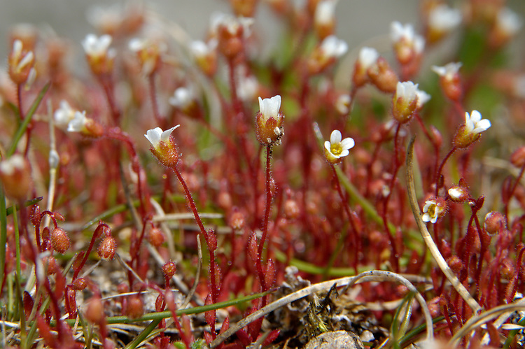 RUE-LEAVED SAXIFRAGE Saxifraga tridactylites (Saxifragaceae) Height to 15cm. Stickily hairy annual with reddish, zigzag stems. Found on dry, bare ground and old walls, mainly on sandy or calcareous soils. FLOWERS are 4-6mm across with 5 white petals; borne in clusters (Jun-Sep). FRUITS are dry capsules. LEAVES are pinnately divided into 1-5 finger-like lobes. STATUS-Widespread and very locally common.
