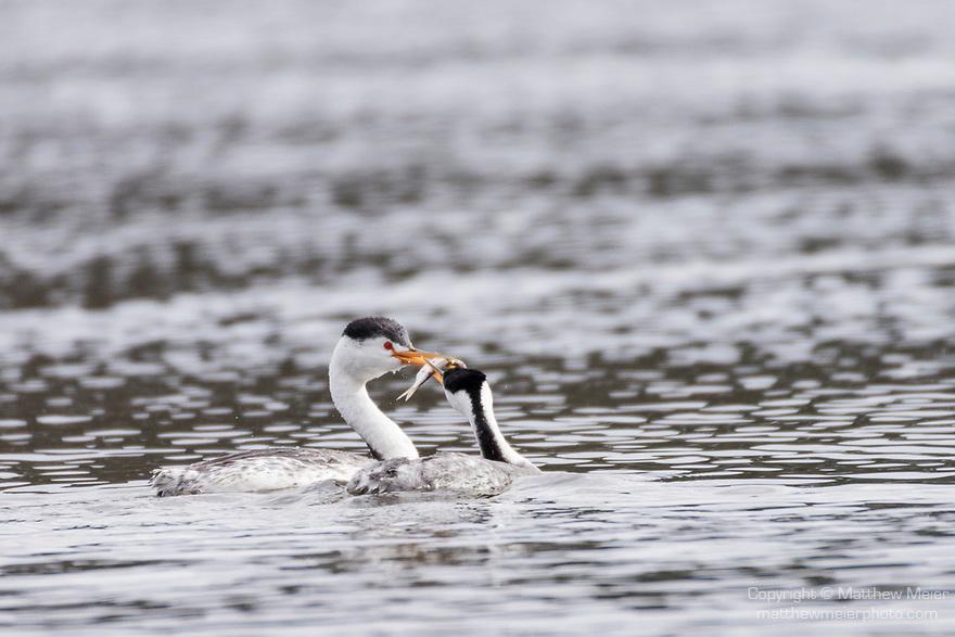 Lake Hodges, Escondido, San Diego, California; a pair of Clark's Grebe (Aechmophorus clarkii), with breeding plumage, exchanging a fish as part of a courtship behavior