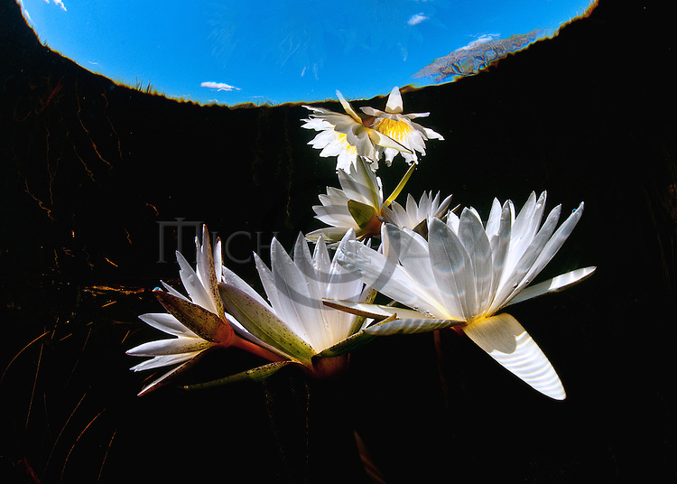 water lily from surface and below
