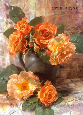 Helga, FLOWERS, portrait, macro, photos, orange roses, DTTH, DTTH44778,#F# Blumen, flores, retrato