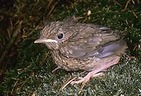 Rotkehlchen, Küken, Erithacus rubecula, robin