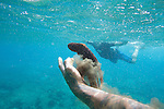 A man handles a Day Octopus while snorkeling off of the coast of the island of Maui, Hawaii