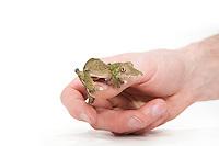 Leaf-tailed Gecko pet, Uroplatus silcorae