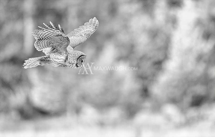 2016 was a good year for Great gray owls, with multiple sightings in the spring and fall.<br /> <br /> This image is also available in color.
