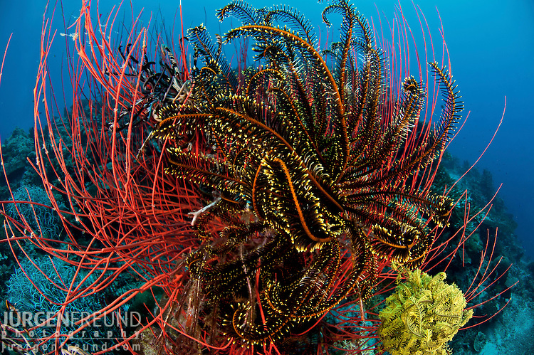 Red whip corals or sea whips (Ellisella sp.) with crinoids or featherstars
