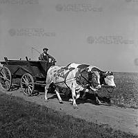 Ein Bauer fährt mit seinem Ochsengespann über die Felder, Deutschland 1930er Jahre. A farmer with his yoke of oxen on the way to his field, Germany 1930s.