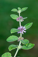 CORN MINT Mentha arvensis (Lamiaceae) Height to 30cm<br /> Upright but rather straggly, hairy perennial that grows in damp arable land, and on paths and disturbed ground. Has a strong and rather pungent smell of mint. FLOWERS are 3-4mm long and lilac; borne in dense whorls at intervals along the stem and not terminally (May-Oct). FRUITS are nutlets. LEAVES are toothed, oval and short-stalked. STATUS-Widespread and generally common.