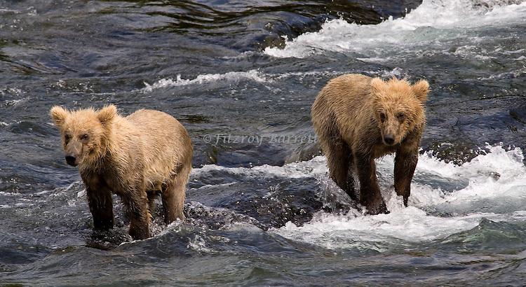 GRIZZLY BEAR CUBS.(URSUS ARCTOS).BROOKS FALLS KATMAI NATIONAL PARK AND RESERVE ALASKA.07-03-2005.PHOTO © FITZROY BARRETT 2005