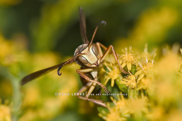Paper Wasp On Goldenrod Flowers, Frontal View, Polistes fuscatus