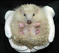 Blondie the hedgehog.