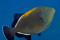Indian triggerfish, Melichthys indicus, aka black-finned triggerfish, East of Eden, Similan Islands, Thailand, Andaman sea, Indian Ocean