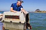 Sea Otter (Enhydra lutris) male being released by Karl Mayer as part of SORAC program, Elkhorn Slough, Monterey Bay, California