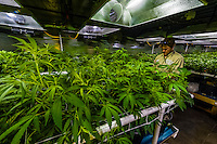 Small clippings from plants in the vegetative room are grown and are put into the flowering phase with a light cycle of 12 hours on and 12 hours off, which will produce flowers. Medicine Man Denver is the single largest legal medical and recreational marijuana dispensary in Denver, Colorado USA. Their 20,000 sq. ft. facility will soon double in size. Radio frequency ID tags and 65 video cameras allow the State of Colorado to track inventory through the growing process and all plant weight is accounted for. Medicine Man won the High Times' Cannabis Cup for best sativa (Jack Herer). 20-30 strains are available for sale daily.