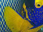 Siaes Corner, Palau -- Close-up of a yellow-mask angelfish.
