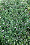 Red Clover (Purple Clover),<br /> Trifolium pratense, Carmel, Indiana, IN, USA
