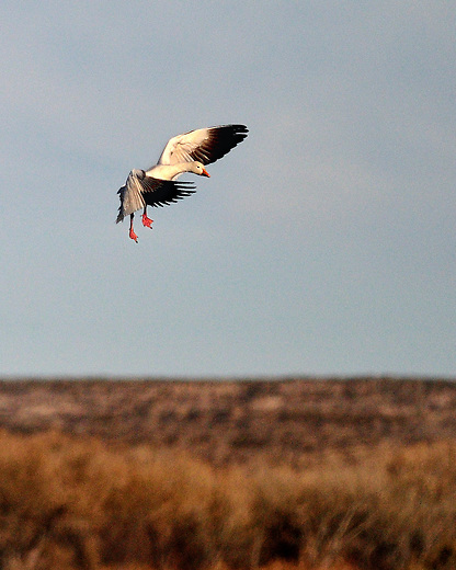 Snow goose coming in for a landing in Bosque del Apache, New Mexico