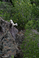 A dall sheep lamb navigates its way back to its mother on the cliffs above Turnagain Arm just south of Anchorage, Alaska.
