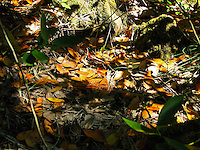 In an early sign of changing seasons yellow and brown leaves are scattered on the ground along the Darlingtonia Trail.