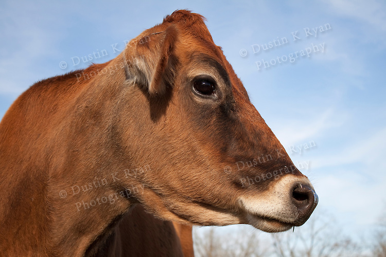 Brown Cow on a farm pasture eating grass with other cows