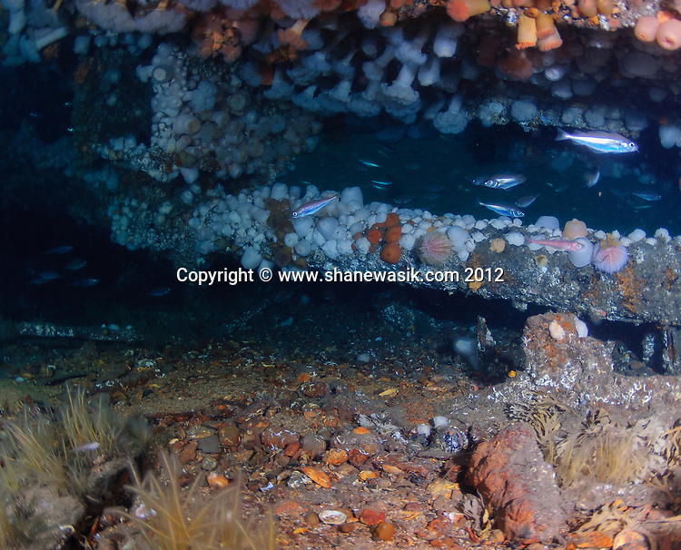 The propshaft covered in plumose anemones as views from the port side.