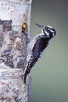 American Three-toed woodpecker - Picoides dorsalis - Adult male