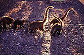 Amazon, Brazil. Group of coatis. Coatimundi (Nasua nasua). Rio Grande do Sul State.