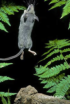 MU51-010z  Deer Mouse - young jumping - Peromyscus maniculatus