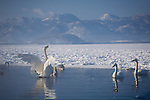 Hokkaido, Japan<br /> Herd of Whooper Swans (Cygnus cygnus) gathered in open water on frozen Lake Kussharo, Akan National Park
