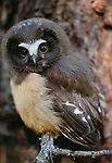 Juvenile northern saw-whet owl, Washington