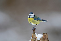 Blaumeise, Blau-Meise, Meise, Meisen, Cyanistes caeruleus, Parus caeruleus, blue tit, tit, tits, La Mésange bleue