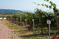 Vines. The ampelographic collection of different vine varieties. Biblia Chora Winery, Kokkinohori, Kavala, Macedonia, Greece