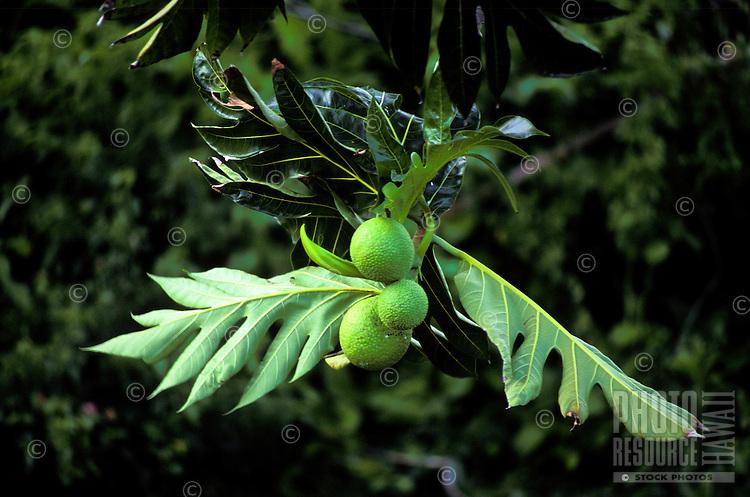 Breadfruit tree at the National Tropical Botanical Gardenís Allerton Garden, Lawai