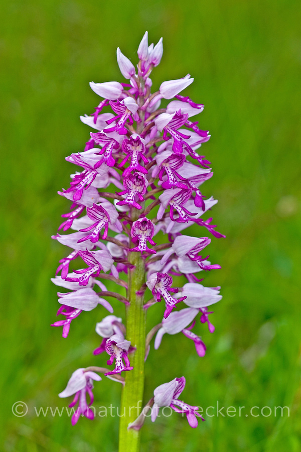Helm-Knabenkraut, Helmknabenkraut, Orchis militaris, military orchid, L'Orchis guerrier