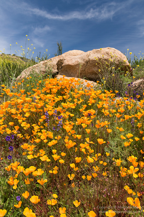 Escondido, California; a field of California Poppies amongst large rocks on a hillside on a sunny afternoon