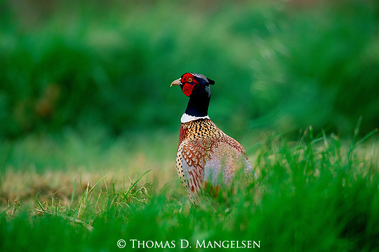 In prime colors and full mating plumage, a stately ring-necked pheasant pauses from a strut among the tall grasses of the Sacramento National Wildlife Refuge.