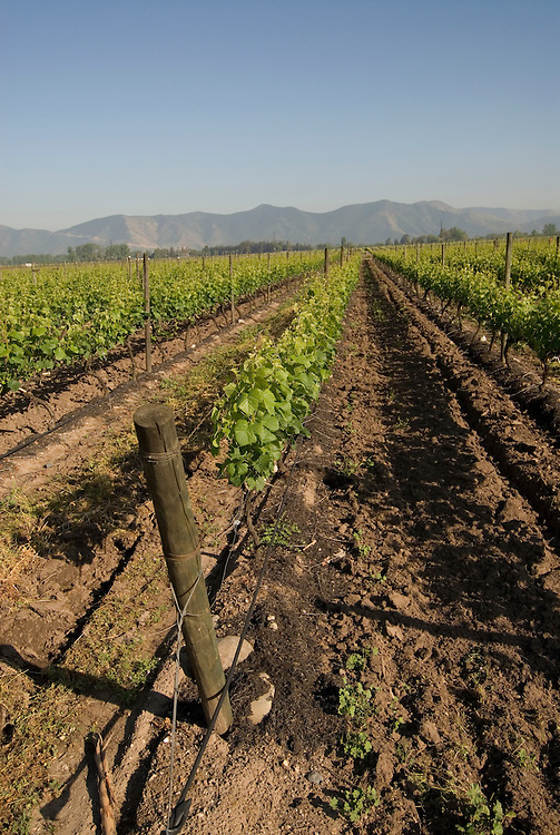 Chile Wine Country: Vineyard at Undurraga Winery, Vina Undurraga, near Santiago.  .Photo #: ch425-33898..Photo copyright Lee Foster, 510-549-2202, www.fostertravel.com, lee@fostertravel.com.
