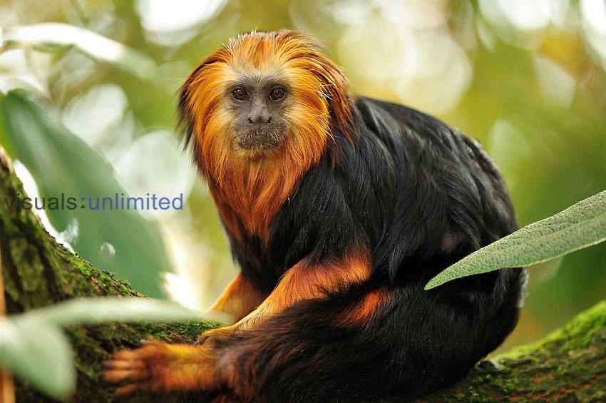 Golden-headed Lion Tamarin (Leontopithecus chrysomelas), Brazil. Captivity