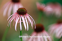 63821-053.01 Pale Purple Coneflowers (Echinacea pallida) in garden, Marion Co.  IL