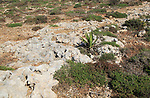 Rocky limestone bare surface showing effects of chemical weathering, Marfa peninsula, Malta